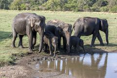 A herd of wild elephants in Sri Lanka. stock images