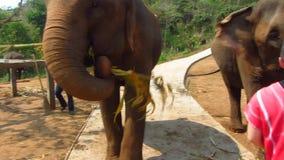 Elephants Feeding at Elephant Sanctuary stock video footage