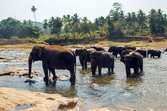 Herd of wild elephants Stock Photography
