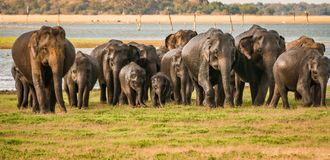 Wild elephants gang. Herd of wild elephants with little babies , srilanka Stock Images