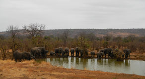 Herd of wild elephants at a pond, Punda Maria, Kruger, South Africa Royalty Free Stock Photos
