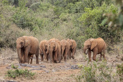 Herd of wild elephants walking Stock Photo