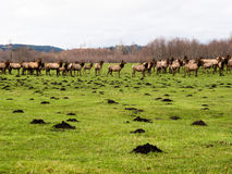 Herd of wild elk. On green meadow near North Bend, Washington state, USA Stock Photography
