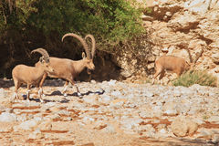 A herd of wild goats Royalty Free Stock Photo