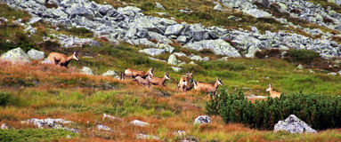 Herd of wild goats eating grass on the mountain Royalty Free Stock Photos