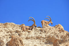 A herd of wild goats, with horns grazing Stock Photos