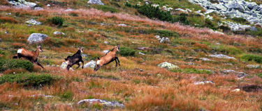 Herd of wild goats running on the mountain Royalty Free Stock Images