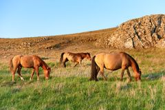 Herd of wild grazing horses. On the field with green grass Royalty Free Stock Image