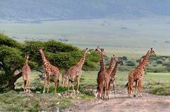 Herd wild herbivorous cloven-hoofed animals, giraffes African sa. Wild animals of Africa, a herd of giraffes crossing the road in the Serengeti reserve Royalty Free Stock Photography