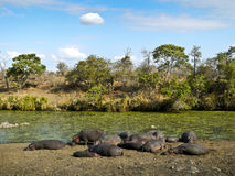 Herd of wild hippos sleeping , Kruger, South Africa Stock Photo