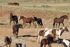 Herd of Wild Horsed Hanging Around a Water Hole Royalty Free Stock Photos