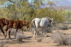Herd of Wild Horses in the Arizona Desert. A herd of wild horses near the Salt River in the Arizona desert Royalty Free Stock Images