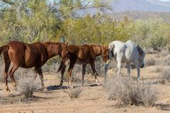 Herd of Wild Horses in Arizona Royalty Free Stock Images