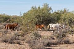 Herd of Wild Horses in Arizona. Wild horses near the Salt River in the Arizona desert Stock Photo