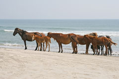 Herd of wild horses on beach Royalty Free Stock Image