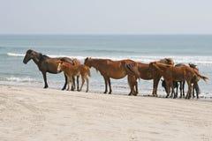 Herd of wild horses on beach Royalty Free Stock Image