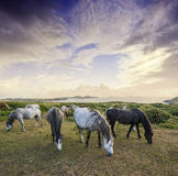 Herd of wild horses and beautiful sunset. Wild horses and beautiful sunset Stock Images