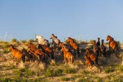 Herd of wild horses Royalty Free Stock Photos
