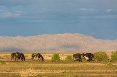 Herd of Wild Horses in the Desert. A herd of beautiful wild horses in the Utah desert Stock Photo