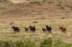 Herd of Wild Horses in the Desert in Summer. A herd of beautiful wild horses in the Utah desert Royalty Free Stock Photos