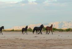 Herd of Wild Horses in the Desert. A herd of wild horses in the Utah desert Stock Images