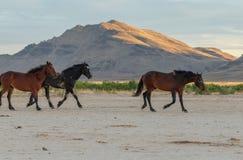 Herd of Wild Horses in the Desert. A herd of wild horses in the Utah desert Royalty Free Stock Images