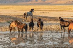 Herd of Wild Horses at a Desert Waterhole. A herd of wild horses at a muddy pond in the Utah desert Stock Photos