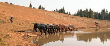 Herd of wild horses drinking at watering hole in the Pryor Mountains Wild Horse Range in the states of Wyoming and Montana. United States stock images