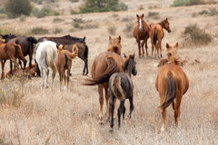Herd of Wild Horses Royalty Free Stock Images