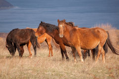 Herd of wild horses on the field Royalty Free Stock Images
