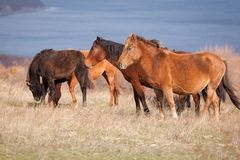 Herd of wild horses on the field Stock Images