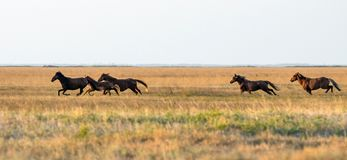 A herd of wild horses galloping across the steppe. Selective focus.  royalty free stock photos