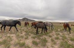 Herd of Wild Horses Grazing in the Desert. A herd of beautiful wild horses int he Utah desert Stock Photo