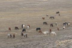 Herd of Wild Horses Grazing Royalty Free Stock Image