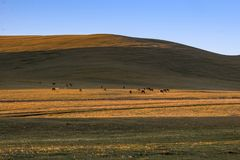 Herd of wild horses grazing on a hill. Herd of horses grazing on a hill in Kyrgyzstan at sunset. Green and yellow grassland and blue sky royalty free stock photo