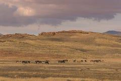 Herd of Wild Horses Grazing Stock Photos