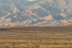 Herd of Wild Horses Grazing Stock Image
