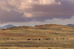 Herd of Wild Horses Grazing in Utah Stock Images