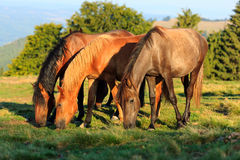Herd of wild horses grazing. Near the forest Stock Image