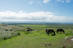 A herd of wild horses grazing on a Scottish hill with Scottish h. Beautiful Scottish farmland scenery with wild horses grazing in the foreground Stock Photography