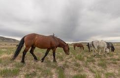 Herd of Wild Horses Grazing in Utah. A herd of beautiful wild horses int he Utah desert Royalty Free Stock Image