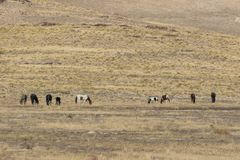 Herd of Wild Horses Grazing Stock Photography