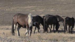 Herd of Wild Horses Grazing. A herd of wild horses grazing in the Utah desert stock footage