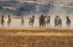 Wild Horses Running in the Utah Desert. A herd of wild horses kicking up dust running in the Utah desert Royalty Free Stock Images