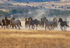 Herd of Wild Horses Running. A herd of wild horses kicking up dust running in the Utah desert Stock Images