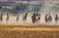 Herd of Wild Horses Running in the Desert. A herd of wild horses kicking up dust running in the Utah desert Royalty Free Stock Photos
