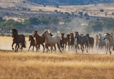 Wild Horses Running. A herd of wild horses kicking up dust running in the Utah desert Royalty Free Stock Photography