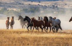 Wild Horses Running in the Utah Desert. A herd of wild horses kicking up dust running in the Utah desert Stock Photo
