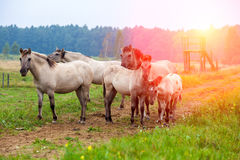 Herd of wild horses. On the meadow at sunset Royalty Free Stock Photography