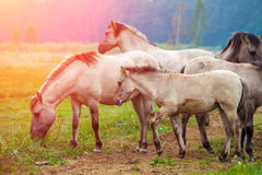 Herd of wild horses Stock Image